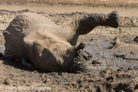 Elephant Wallowing In The Mud at the Jones Dam