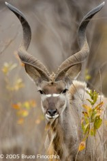 Portrait Of A Male Kudu