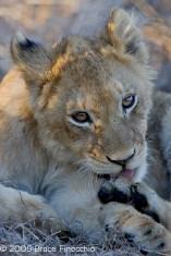 Lion Cub Licks Paw
