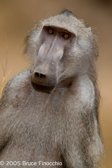 Male Baboon Along the Letaba River