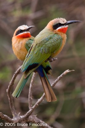Mated Pair of White-fronted Bee-eaters