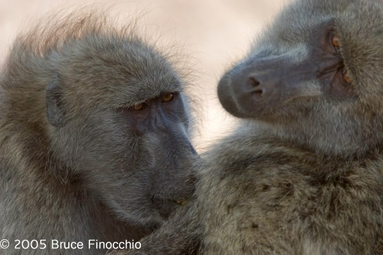 Baboon Preening Another