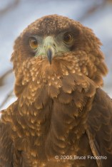 Portrait Of A Young Bateleur Eagle With Its Brown Feathers