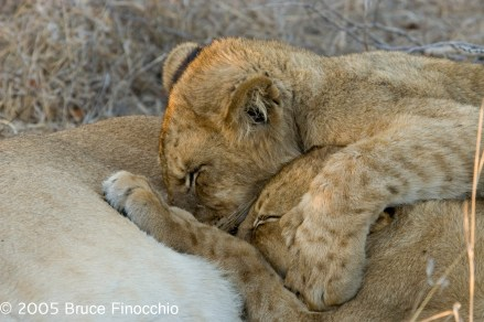 Two Lion Cubs Compete for Mother's Milk