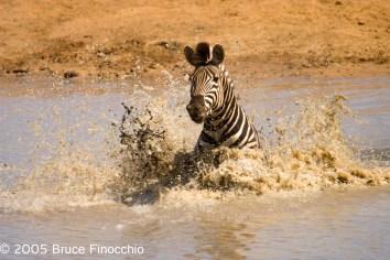Zebra Crossing the Jones Dam