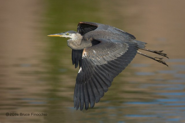 Young Great Blue Heron Flight