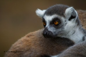 Into The Eye And Through The Soul Of A Ring-tailed Lemur