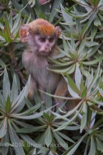 Patus Monkey Baby Among The Green Leaves