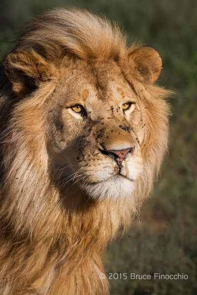 Blond Male Lion Of The Ndutu's Marsh Pride
