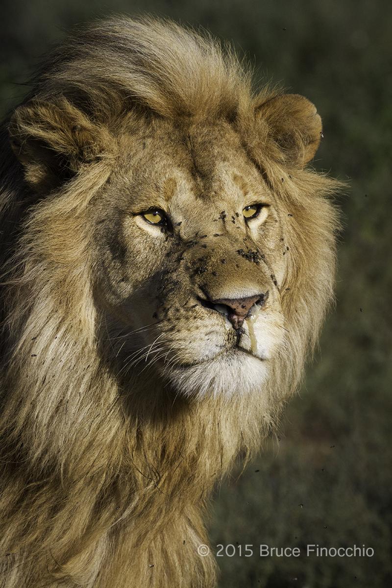 Blond Male Lion Of The Ndutu's Marsh Pride