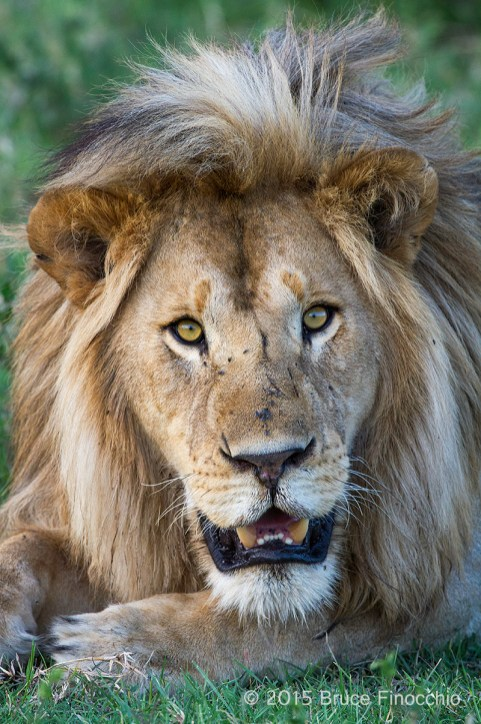 Into The Eyes And Soul Of A Male Lion
