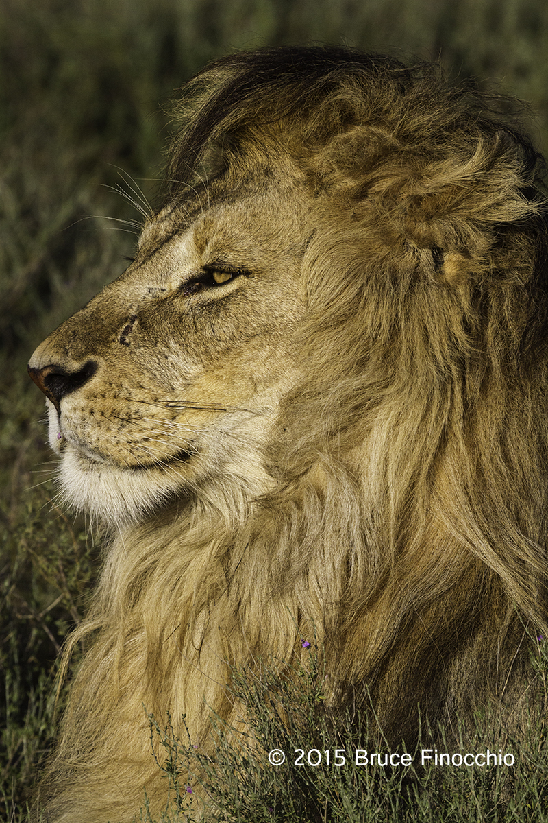 The Kuende Pride Sign - Ups Male-lion-intently-gazes-out-across-the-plain_bf79126d7c