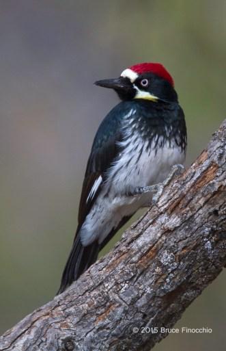 Male Acorn Woodpecker Portrait