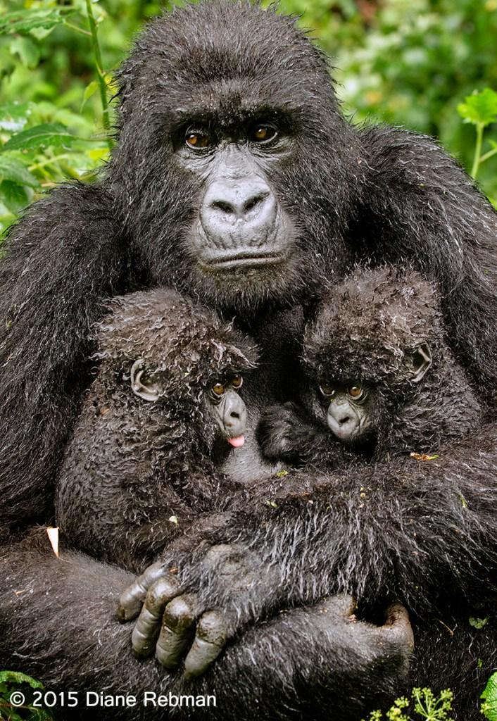 Mountain Gorilla with Twins