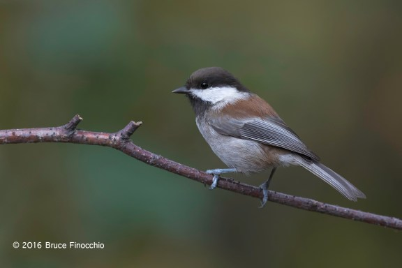 Chestnut-backed Chickadee Portrait