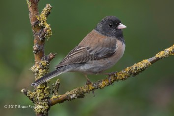 Dark-eyed Junco Between Orange Lichen Branches