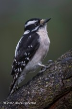 Female Downy Woodpecker On A Spilt Tree Branch