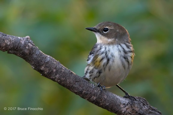 Portrait Of A Perched Female Yellow-rumped Warbler