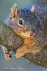 While Resting A Fox Squirrel Grips A Tree Branch