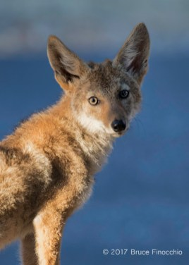 Young Coyote Stare Down
