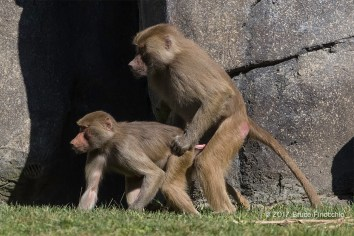 A Sub-Adult Male Hamadryas Baboon Sneaks In Some Mating While Dominant Male Is Out of Sight