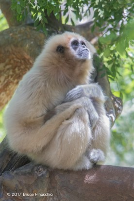 Female Whited-handed Gibbon In Deep Thought