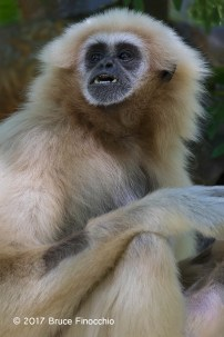 Female White-handed Gibbon Reacts