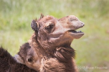One Dromedary Camel Nuzzles Or Bites The Neck Of Another