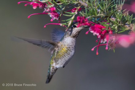 Female Anna's Hummingbird Pollenating The Inside Blossoms