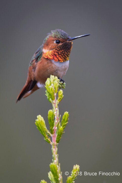 Male Allen's Hummingbird Perched On A Cape Heath Branch