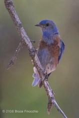 A Watchful Male Western Bluebird On A Perch