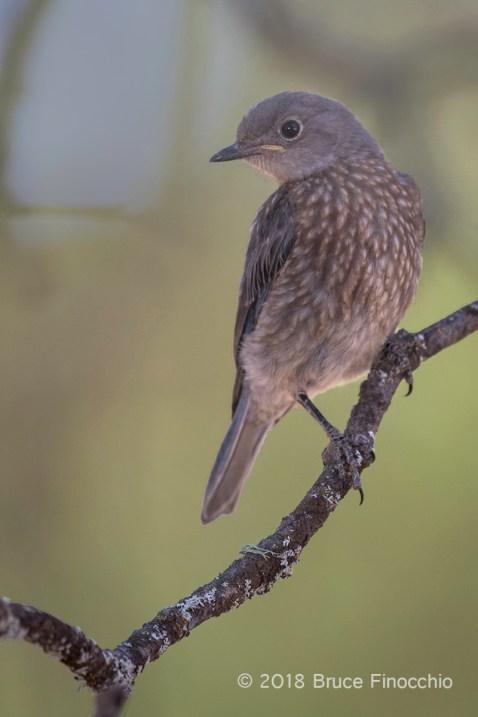 Juvenile Western Bluebird Perched Underneath The Canopy Of A Blue Oak