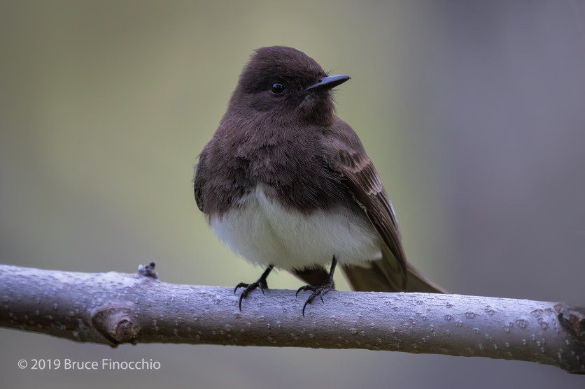 Female Black Phoebe Perched On A Bare Sycamore Branch