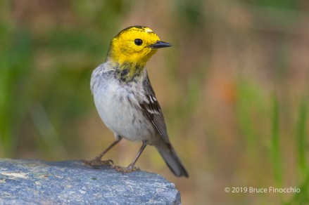 First Year Male Hermit Warbler Poses On A Rock