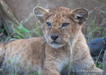 Little Lion Cub At The Cape Buffalo Kill