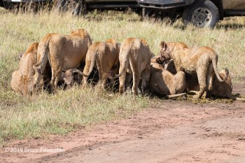 Pride Of Lions On A Cape Buffalo Kill With Safari Vehicles Close By
