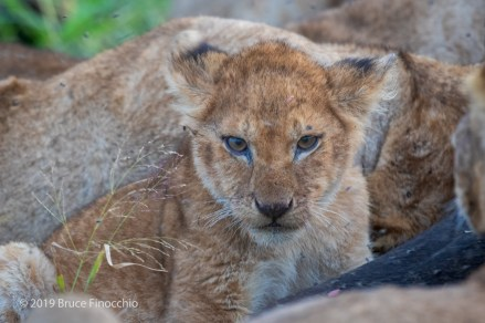 Young Lion Cub Takes A Breather From A Lion Buffalo Kill Feeding Frenzy