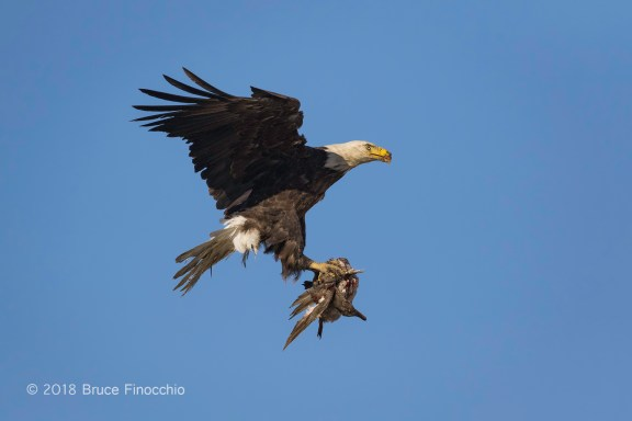 Female Bald Eagle With Duck In Her Talons
