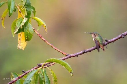 Female Volcano Hummingbird Perched On A Thin Branch