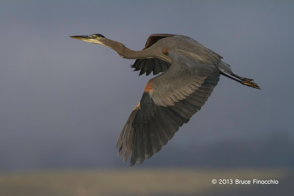 Great Blue Heron Climbing Into The Sky