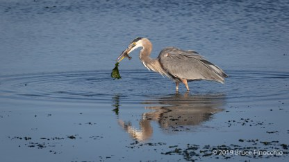 Great Blue Heron Jettisons The Seaweed On Its Beak Tip While Keeping The Fish Firmly Held