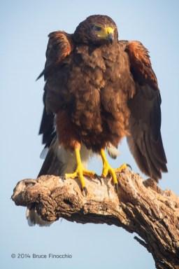 Harris Hawk Ruffles Feathers,