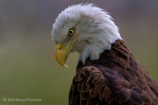 The Bald Eagle Look