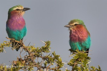 Two Lilac-breasted Rollers Perched On An Acacia Thorn Branch
