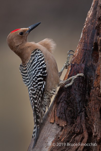 Wind Blows The Breast Feathers Of A Perched Male Gila Woodpecker