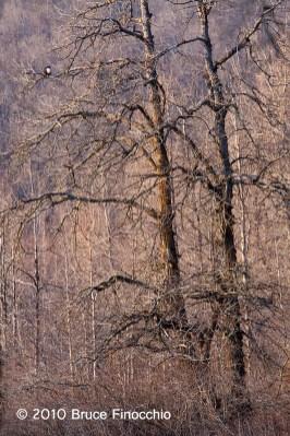 Bald Eagle Among The Cottonwoods