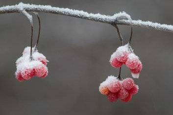 High Bush Cranberries With A Dusting Of Snow