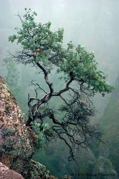 Manzanita In The Mist
