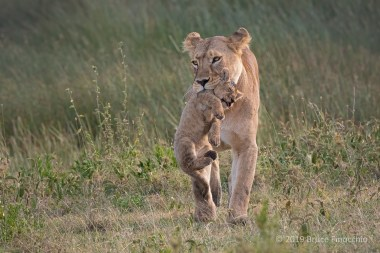 A Mother Lioness Carries One Of Her Cubs In Her Mouth