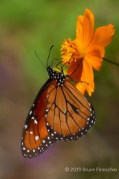 A Queen Butterfly Seeking Nectar From An Orange Daffodil Blossom